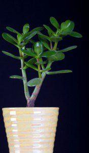 Feng Shui Plants -Money Tree or Crassula