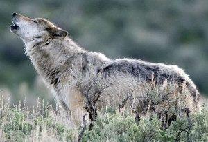 Yellowstone Wolf Howling